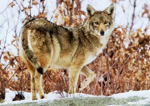 coyotedep