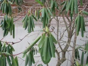 Rhododendron leaf curl - Carol Quish
