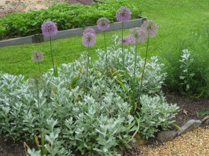 Alliums planted in silver leaved artemesia