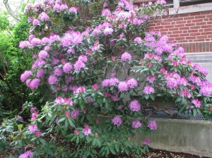 rhododendron by Carol Quish, UConn HGEC