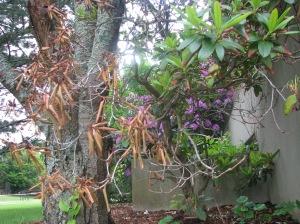 Rhododendron damage by. Carol D. Quish, UConn HGEC