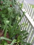Summer hyacinths - galtonia candicans