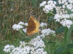 Butterfly on boneset