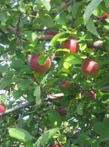 Bright, sun ripened apples