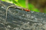 04050532PD_5-lined_skink.wildherpscom