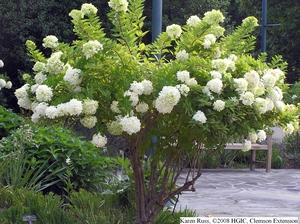 hydrangea pruning uconnladybug 39 s blog. Black Bedroom Furniture Sets. Home Design Ideas
