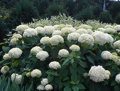 301 moved permanently for Annabelle hydrangea