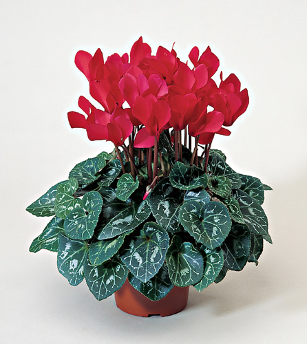 Cyclamen as House Plants Uconnladybugs Blog