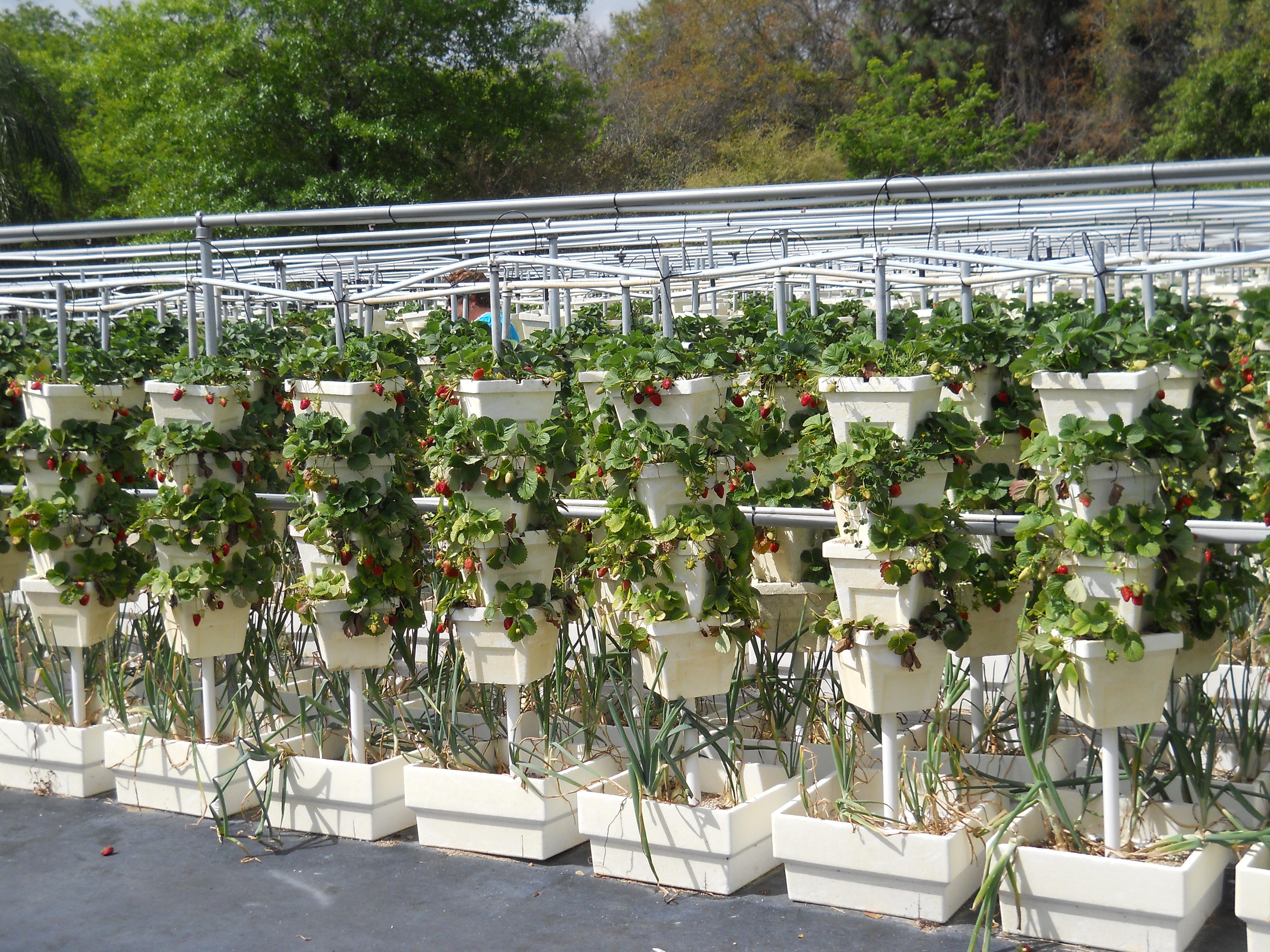 Субстрат для выращивания клубники дома 62