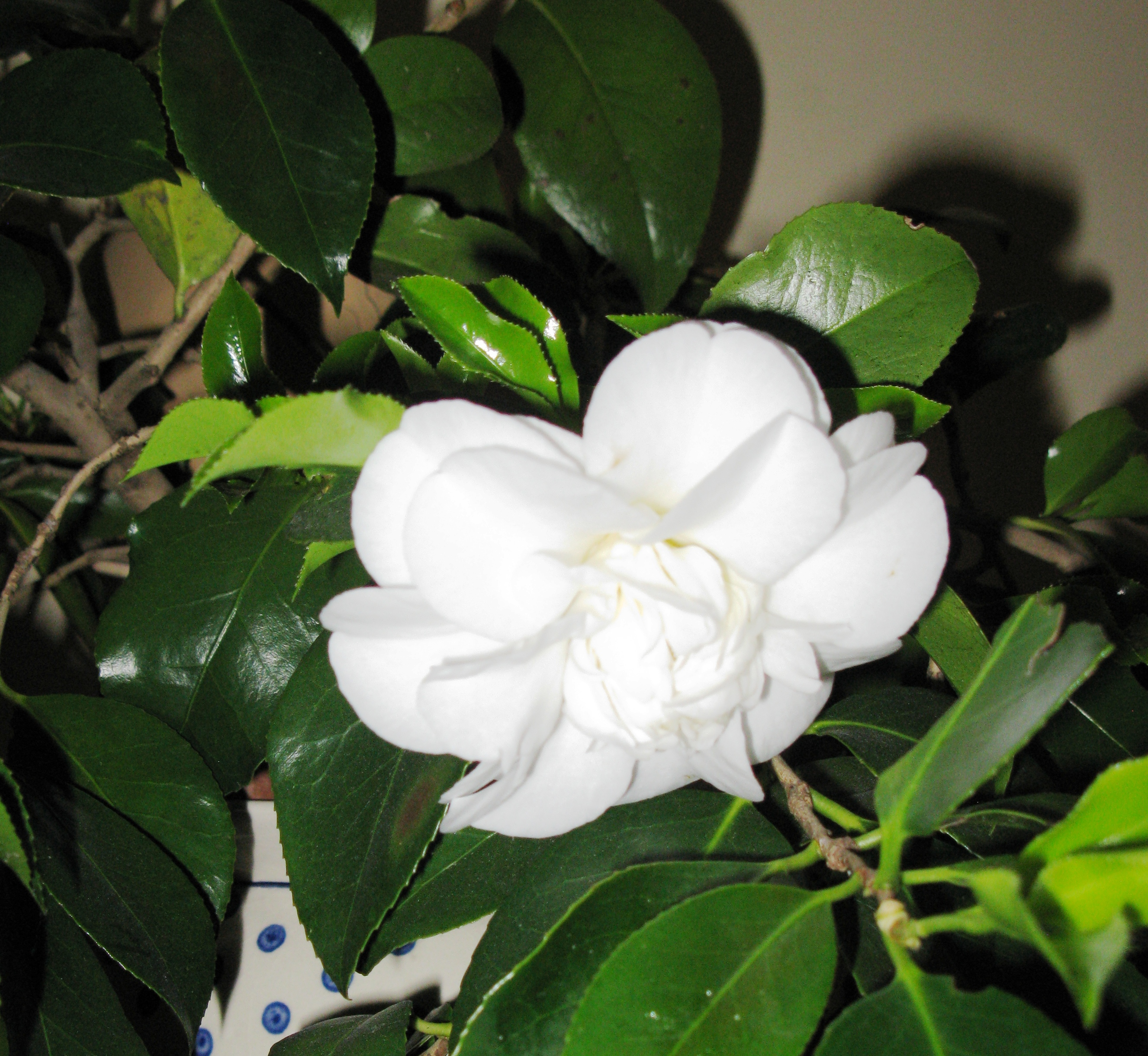 camellia still in flower photo l alexander