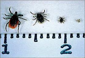 Deer Ticks     Scale in Centimeters
