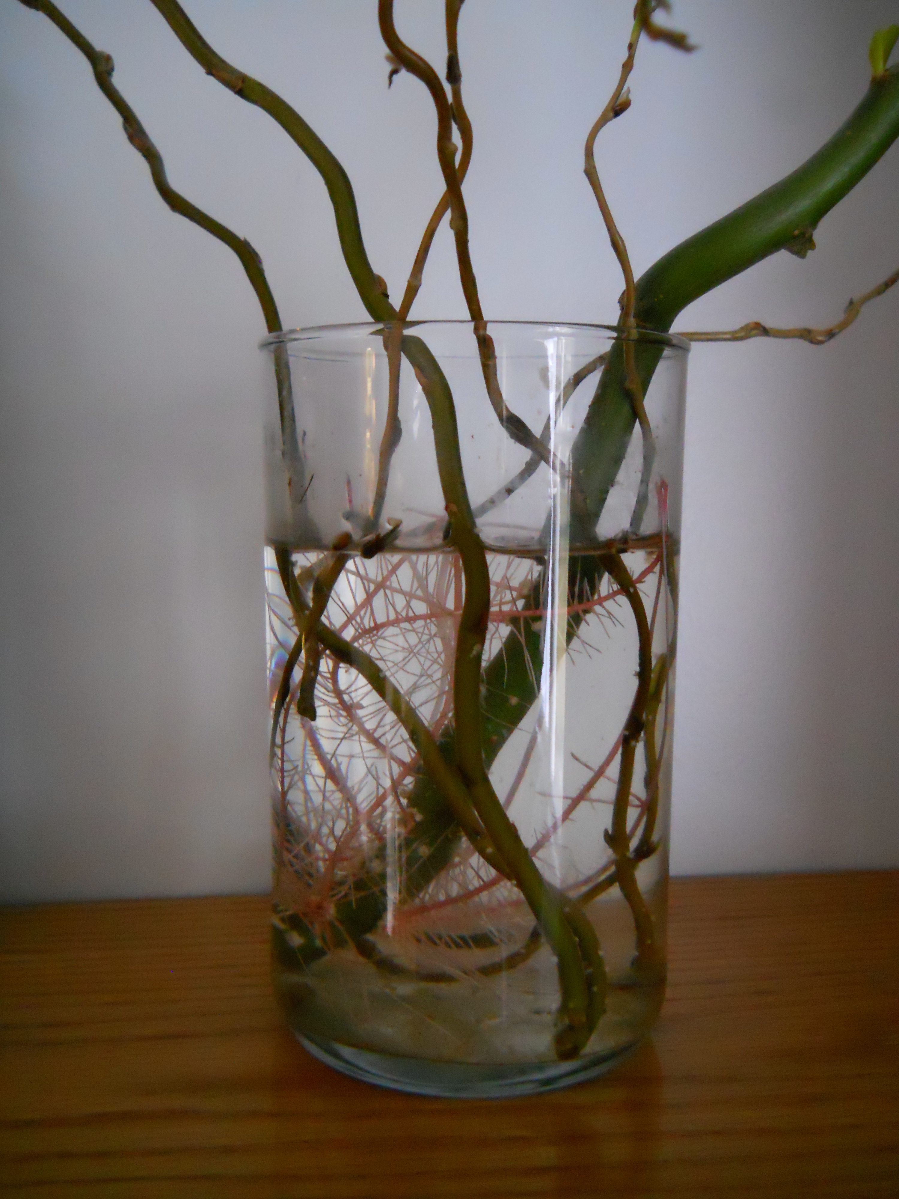 Willow water contains rooting stimulant uconnladybugs blog photo by carol quish reviewsmspy