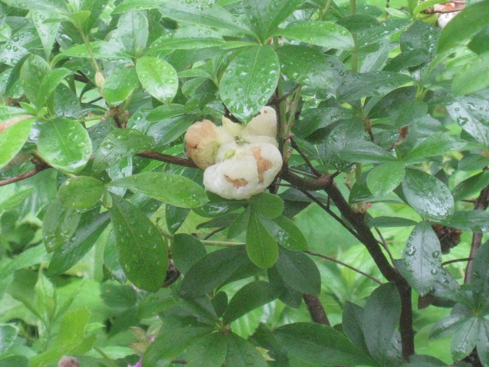 Azalea Diseases-Leaf Gall | Plumstone |Azalea Diseases