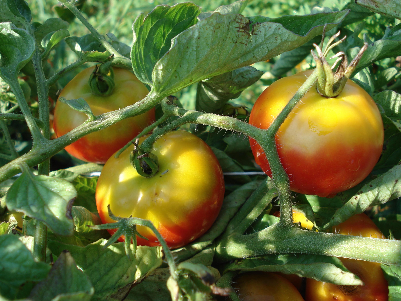 Yellow Shoulder of Tomato | Uconnladybug's Blog