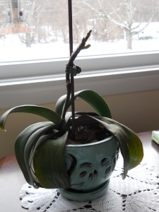 Phalaenopsis orchid in bud, photo by C. Quish