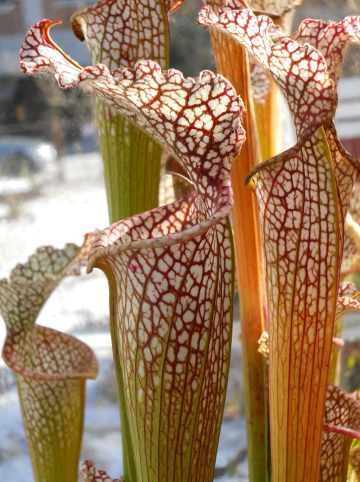 Pitcher Plant, photo by C.Quish