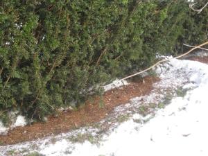 Deer feeding signs on yew hedge