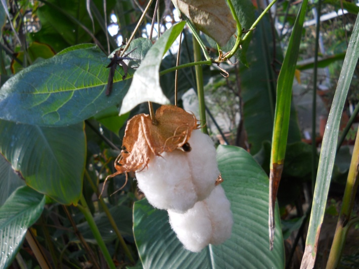 Oct 06, · Cotton is a soft, staple fibre that grows around the seeds of the cotton plant (Gossypium sp.), a shrub native to tropical and subtropical regions around the world, including the Americas, India.