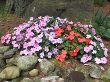 Healthy mound of impatiens.