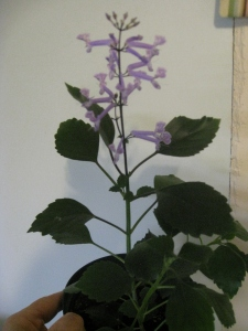 Plectranthus blooming in February