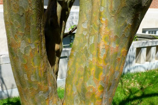 Chinese Quince bark 5-2-13 UConn P. Cooper, photo