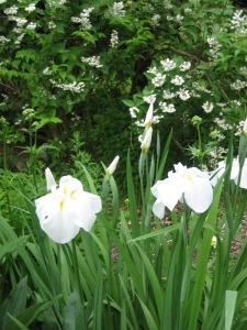 Japanese Iris in White Garden