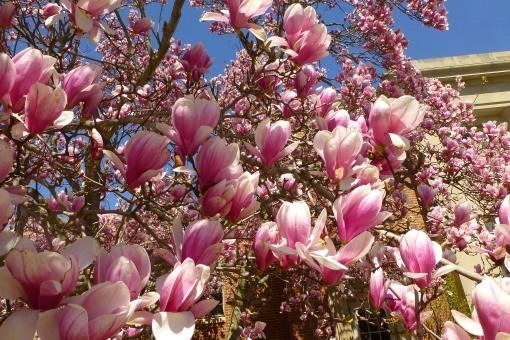 Saucer Magnolia, Magnolia x soulangeana, P. Cooper photo