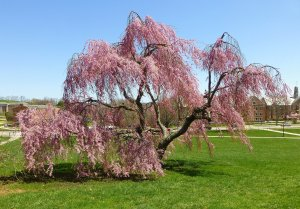 Prunus subhirtella Pendula, photo by Pamm Cooper