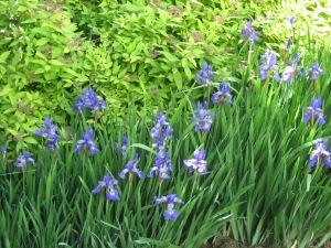 Blue Siberian Irises