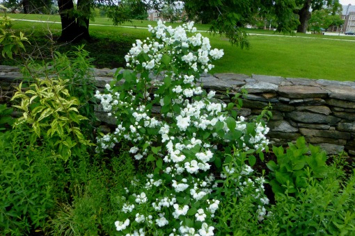 Mock Orange, Photo by Pamm Cooper