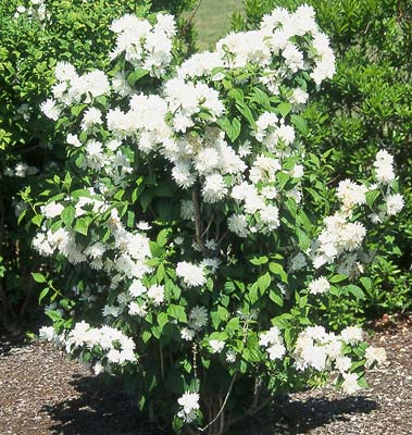 Philadelphus × virginalis 'Miniature Snowflake' oregonstate.edu