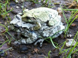 Male and female gray tree frogs.  JAllen photo.