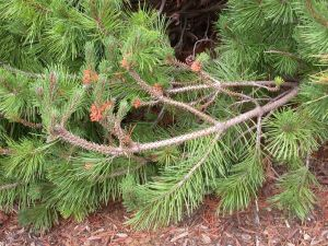 sawfly damage on mugo pine Illinois extension