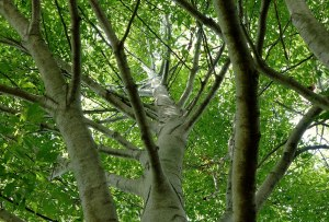 American Beech at Bushnell Park, Hartford, Ct photo by Pamm Cooper