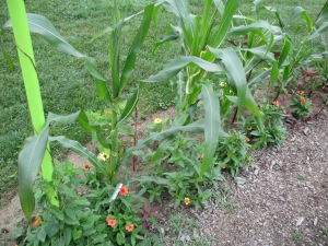 Corn interplanted with zinnias