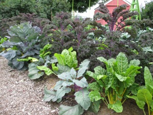 Purple kale and yellow stemmed chard