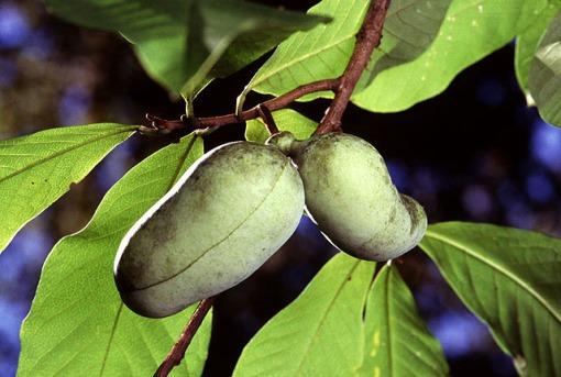 pawpaw.fruit www.ars-grin.gov