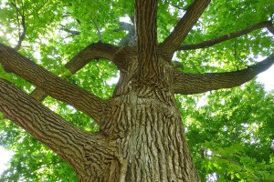 Sweet gum looking up the trunk toward the canopy. Photo copyright 2013 Pamm Cooper