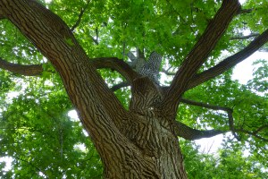 Champion Turkey Oak looking up. Photo Pamm Cooper