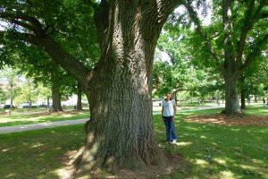 Champion Turkey Oak trunk, 17 feet in circumference. Photo copyright Pamm Cooper 2013