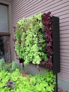 Wall of lettuce