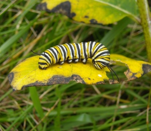 Monarch ready to pupate