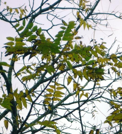 Black walnut leaves. Photo by Carol Quish