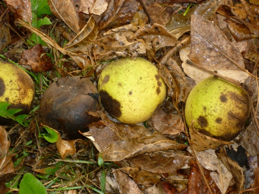Black walnuts in husks. The green ones have not had their husk rot off as much. Photo by Carol Quish