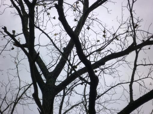 Black walnut hanging in tree. Photo Carol Quish