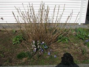 Bare spring stick just pushing out buds. Photo Carol Quish