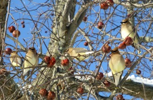 cedar waxwings on crabapple 2-7-14 UConn outside Radclifef Hicks photo Pamm Cooper