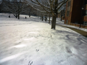 Squirrel track leading to tree, UConn 2-4-14,CQuish