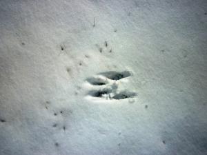 Squirrel tracks, UConn 2-4-2014, C.Quish photo