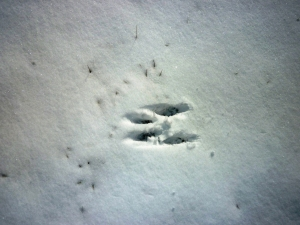 Squirrel tracks, UConn 2-4-2014, C.Quish photo